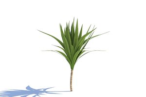 3d plant dracaena model