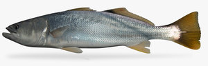 3d yellowtail corvina model
