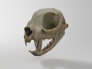 skull domestic cat obj