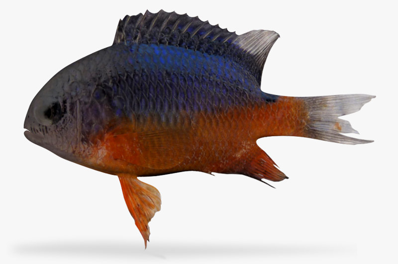 3d bumphead damselfish model