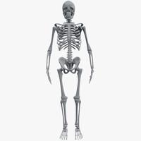 skeleton human
