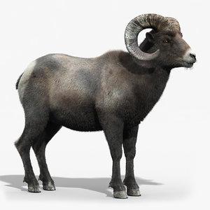3d model of bighorn sheep fur horns