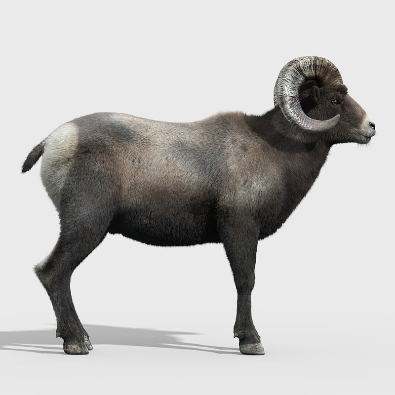 3d model of bighorn sheep fur horns