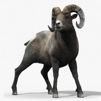 Bighorn sheep(FUR)(RIGGED)