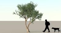 Olive Tree Type 05