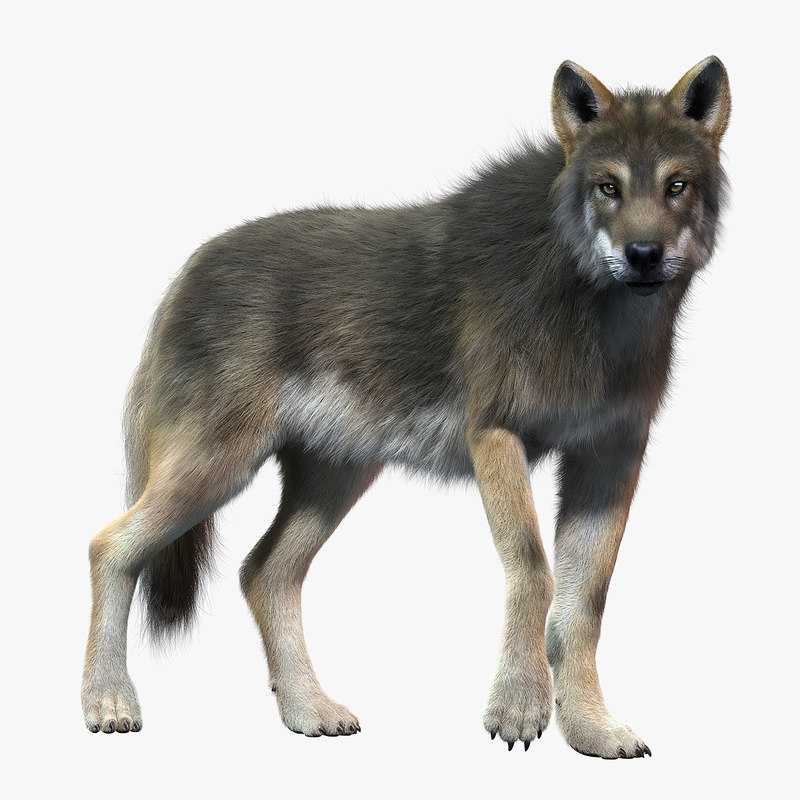 gray wolf 2 fur 3d model