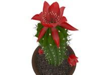 Cactus Hametsereus