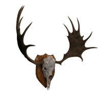 moose skull 3d model