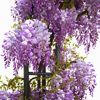 3d wisteria flowering