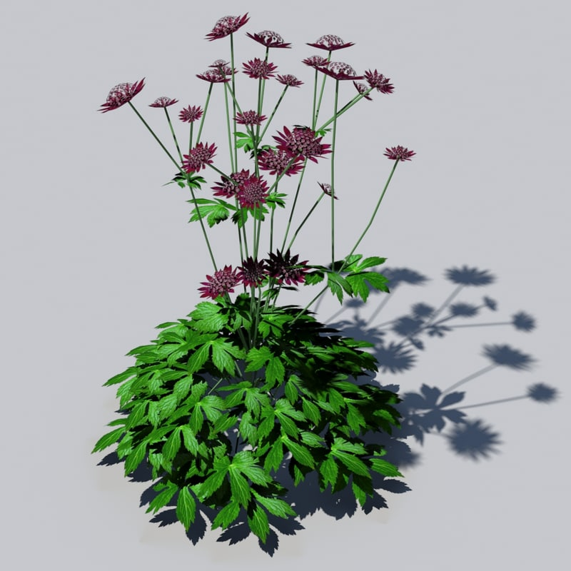 astrantia flowering 3d 3ds