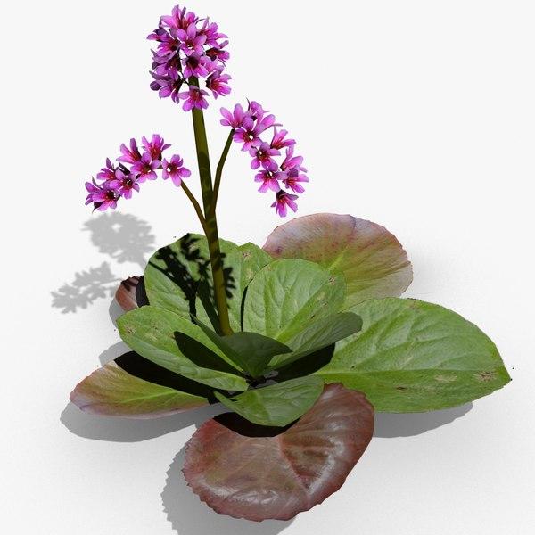 bergenia flowering 3d max
