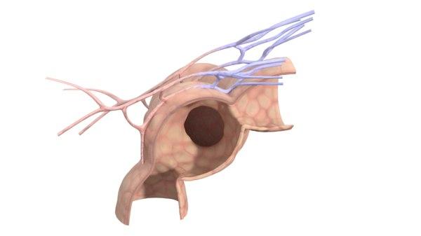 3d pulmonary alveoli