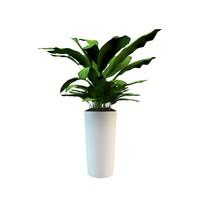 Room Plant Dieffenbachia