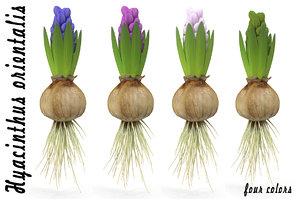 3d model of hyacinthus orientali plant