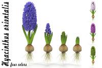 3d hyacinthus orientali model