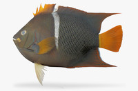 king angelfish 3d model