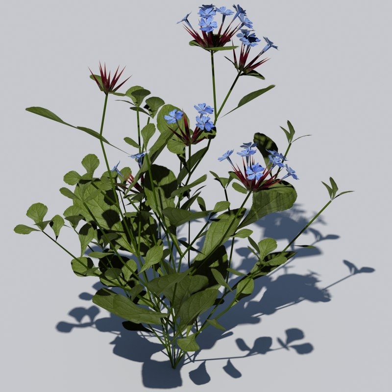 3d ceratostigma leadwort plumbago flowering model