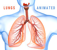 Human Lungs - pulmonary system 3D model
