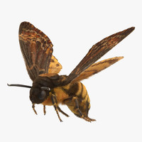 Greater Deaths Head Hawkmoth Flying Pose with Fur 3D Model