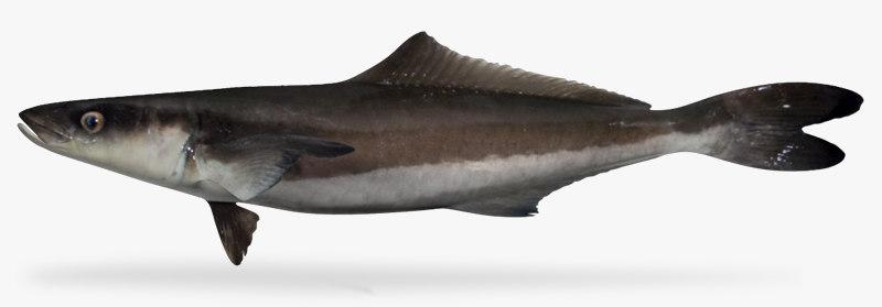 3d cobia fish