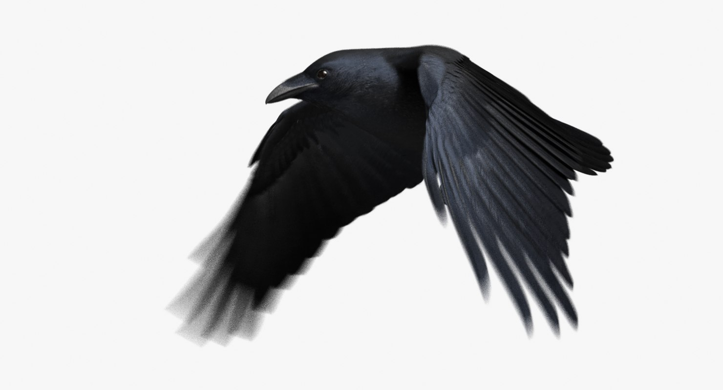 3d chihuahuan raven animation flying