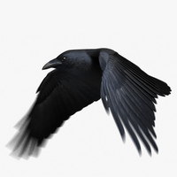 Chihuahuan Raven (Animated)