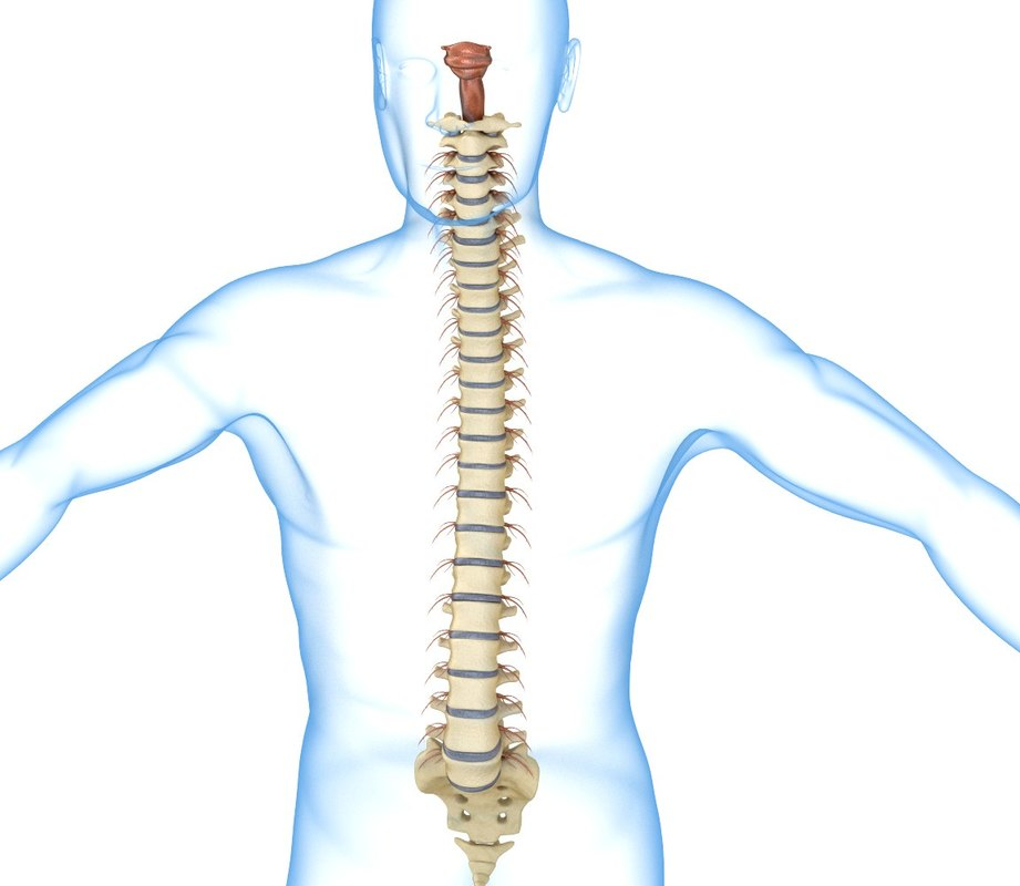 3d human spine spinal cord model