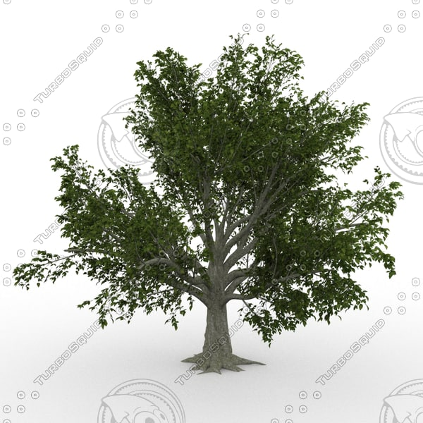 3d model american beech fagus grandifolia