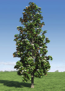 3d magnolia tree leafs model