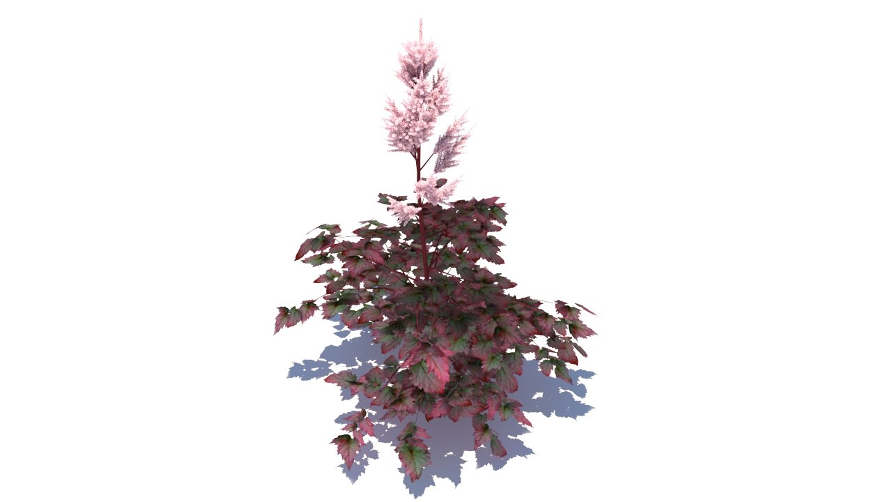 3d astilbe chinensis color flash model