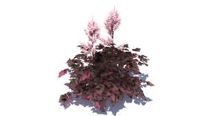 astilbe chinensis color flash 3d max