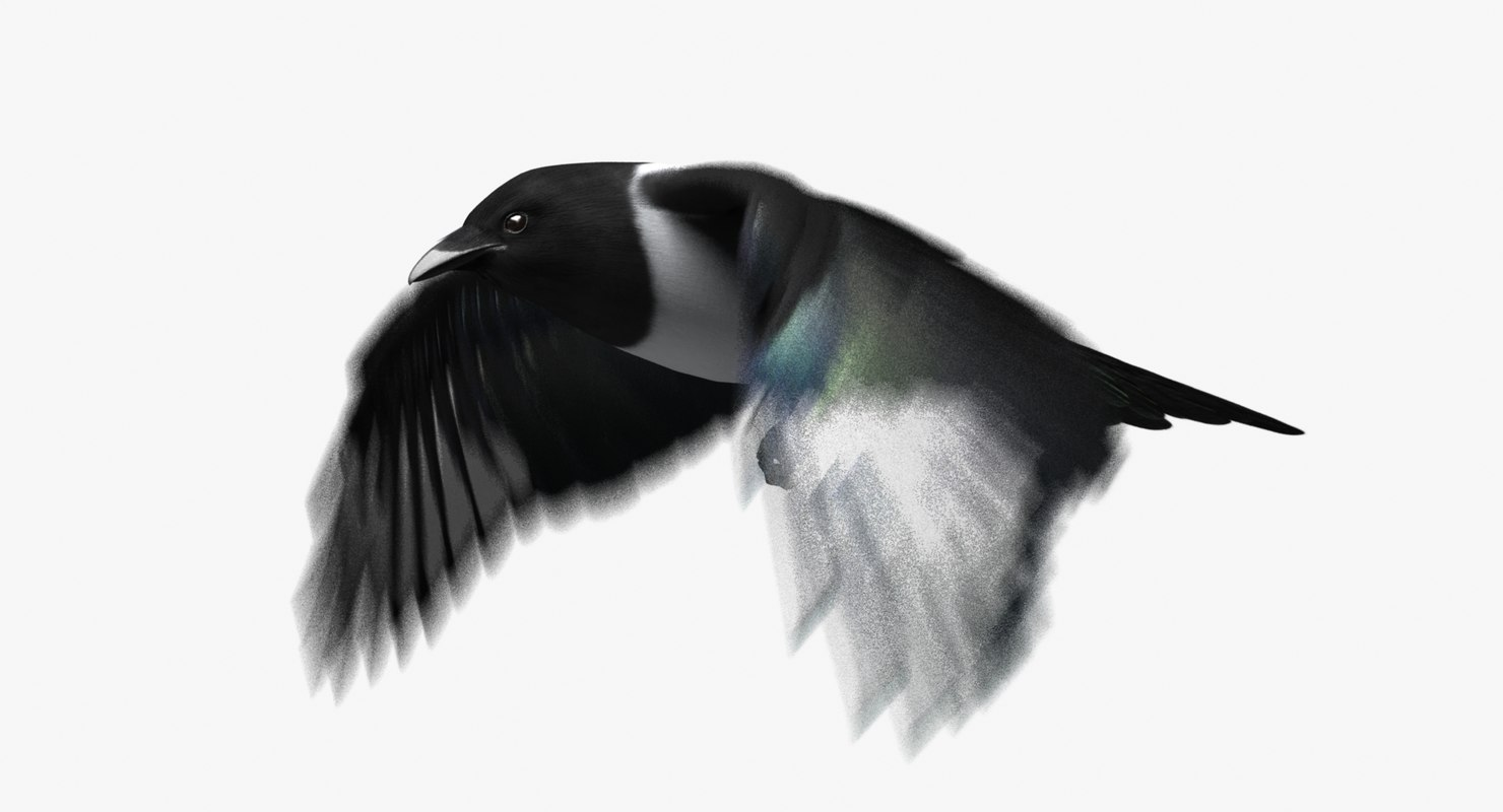 obj black-billed magpie animation