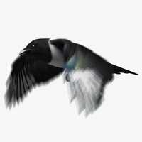 Black-billed Magpie (Animated)