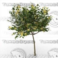 allamanda cathartica tree 3d model