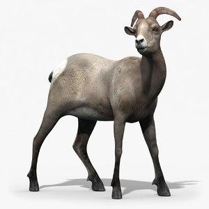 3d model of bighorn sheep female rigged