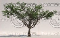 Acacia (Faidherbia albida)
