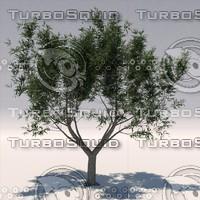 Olive tree 1(Olea europaea)
