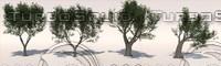 Olive tree pack (Olea europaea)