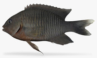dusky damselfish 3d model