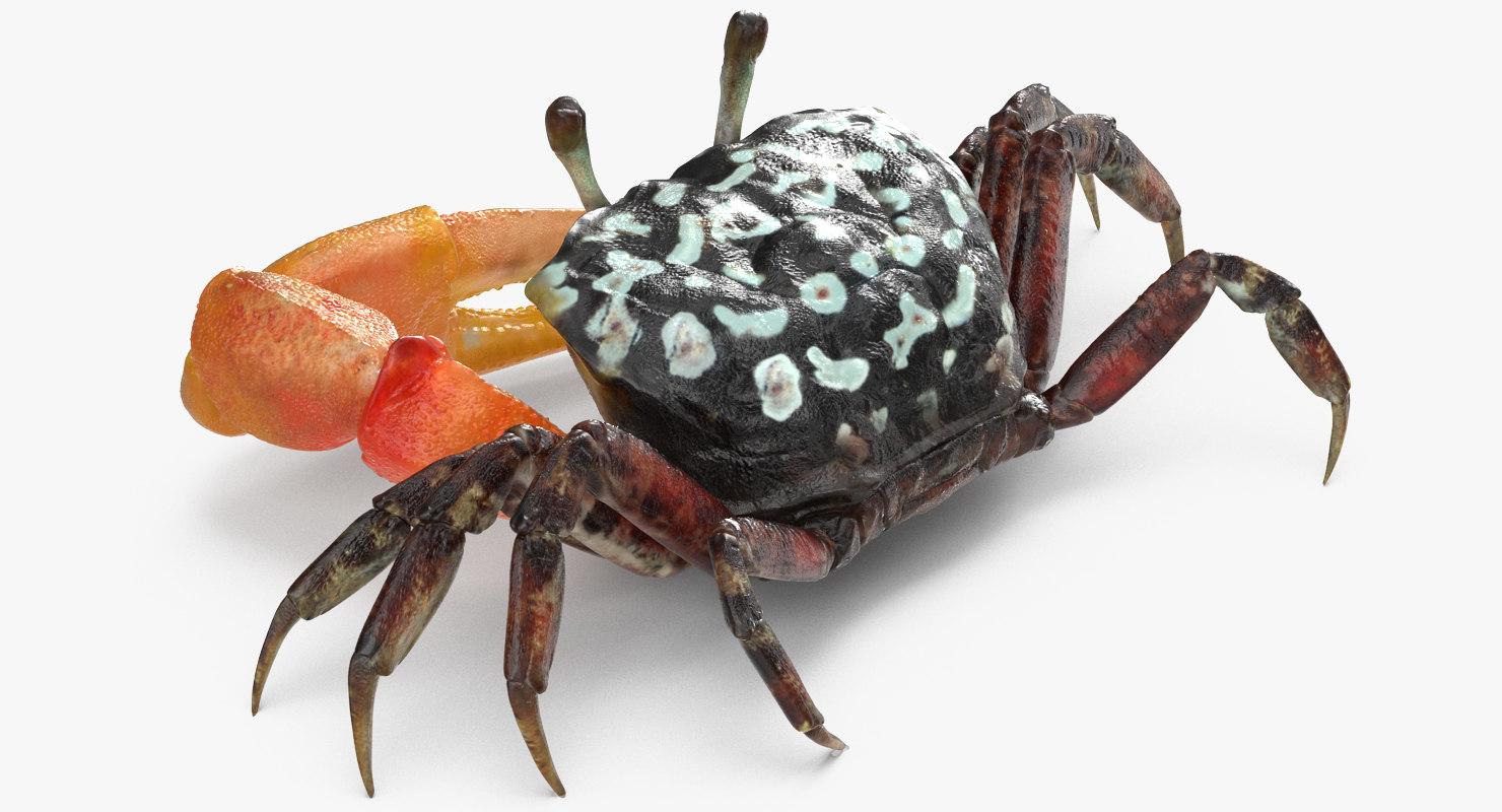 calling crab sitting pose 3d 3ds