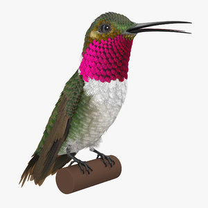 broad tailed hummingbird sitting 3d max