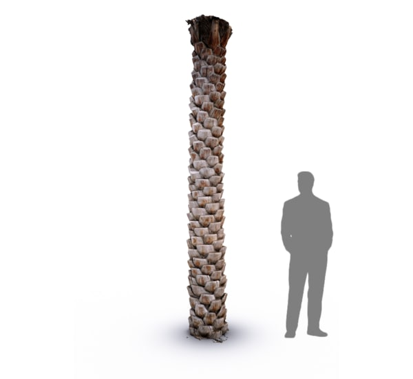 scan date palm tree trunk 3d model