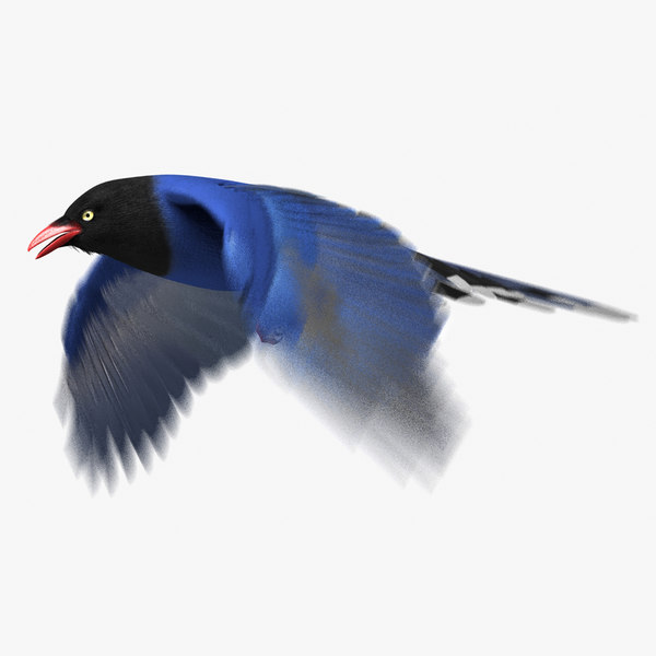 3d taiwan blue magpie animation model