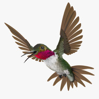 broad tailed hummingbird rigged max