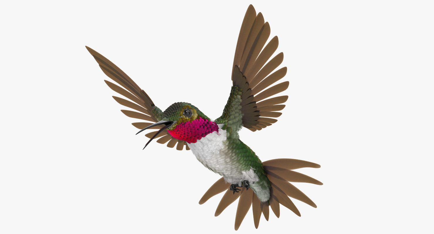 broad tailed hummingbird rigged max