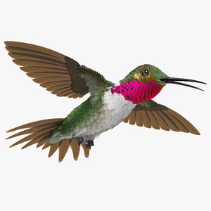 broad tailed hummingbird flying 3d model