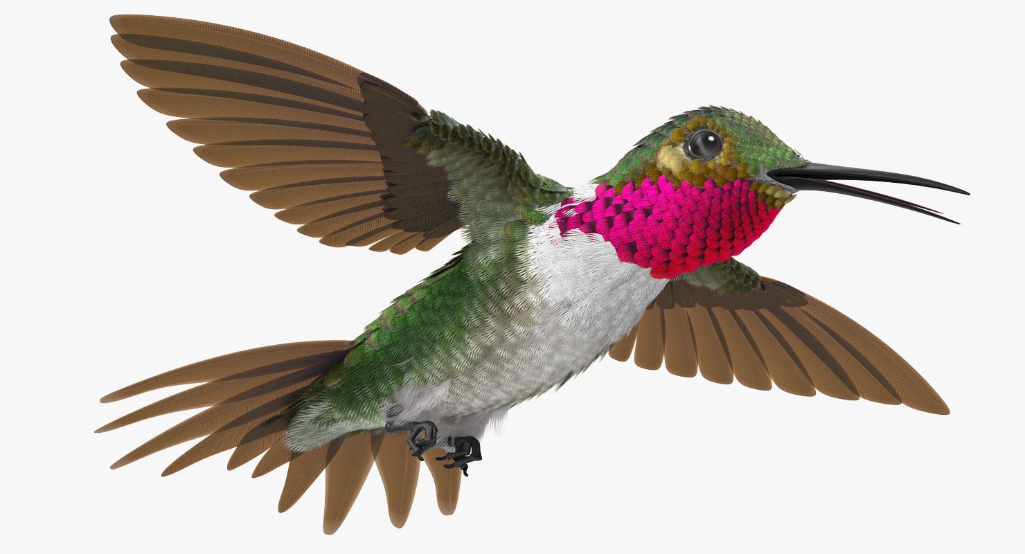 broad tailed hummingbird flying 3d model