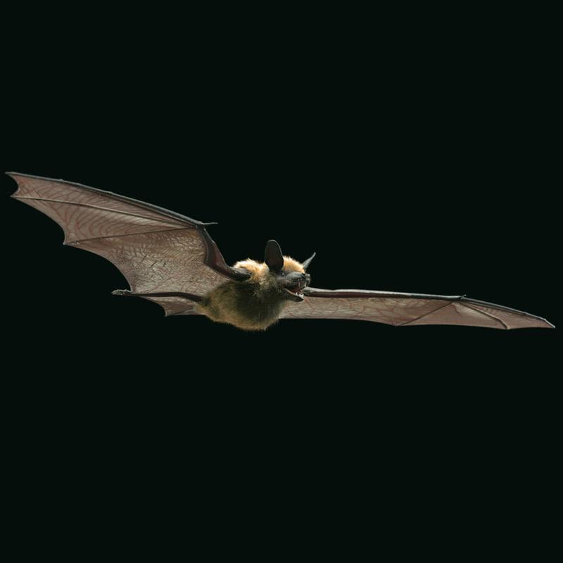 brown bat 3d ma