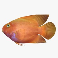 blood parrot cichlid scanline 3d model