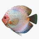 Discus fish 3D models